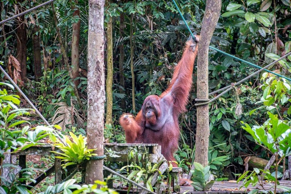 Orang Utan Borneo Dschungel Reservat