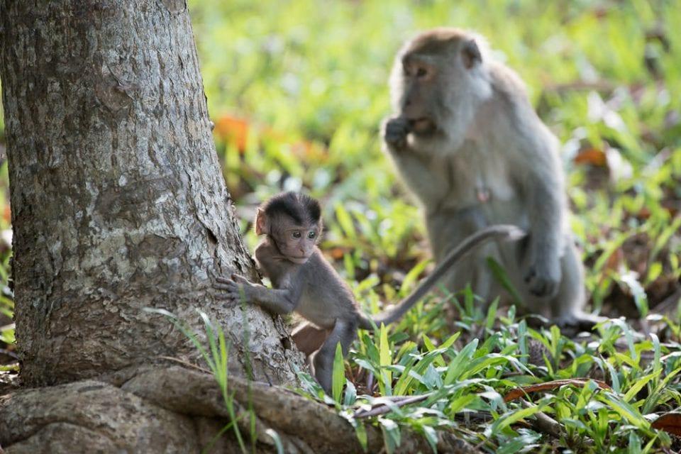 Affen im Nationalpark Borneo Reise